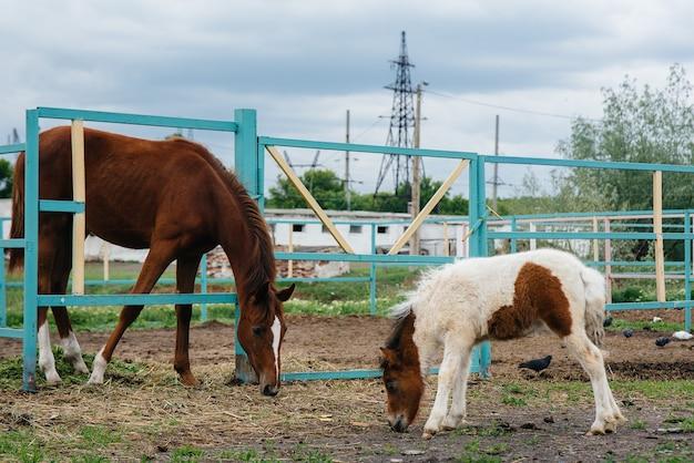 Een mooie en jonge pony snuift en toont interesse in de volwassen paarden op de ranch. veehouderij en paardenfokkerij.