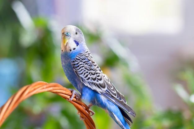 Een mooie golvende papegaai van blauwe kleur zit zonder kooi Premium Foto