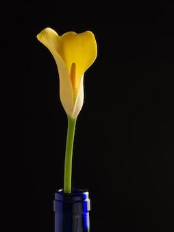 Een mooie goudgele calla lelie in een blauwe fles op een zwarte achtergrond