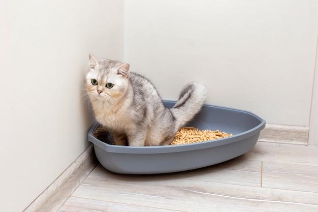 Een mooie grijze britse kat poept in een grote grijze driehoekige plastic kattenbak