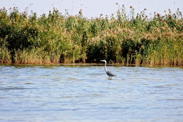 Een mooie grijze reiger die in het meer vist, is een fauna in zijn natuurlijke habitat. wildlife concept. zachte selectieve aandacht.