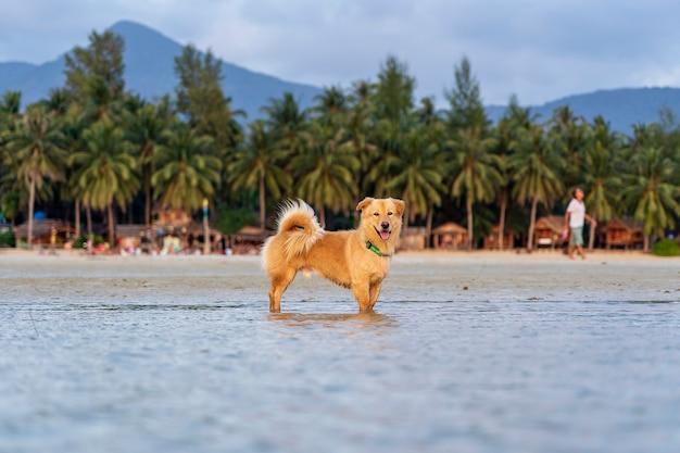 Een mooie hond staat in het zeewater op een tropisch strand tijdens zonsondergang op het eiland koh phangan, thailand