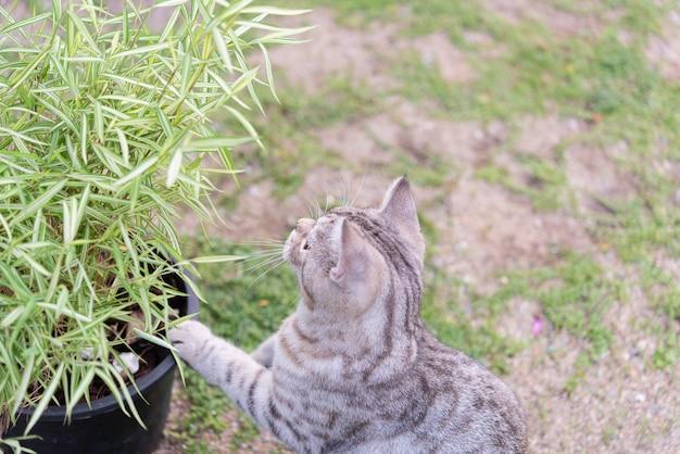Een mooie kat met bamboeboom, thyrsostachys siamensis gok, natuurlijke geneeskundeplant voor katten
