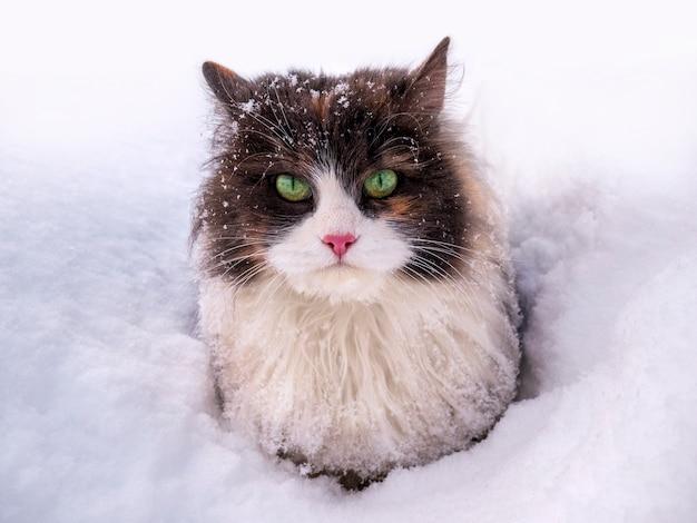 Een mooie pluizige kat met groene ogen zit bij koud weer in de sneeuw.