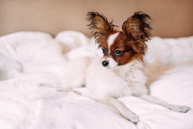 Een mooie puppy papillon wit met roodbruin ligt in bed op een wit laken en kijkt naar de zijkant.