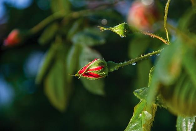 Een mooie rode roos in de tuin
