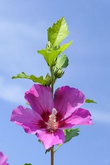 Een mooie roze bloem met een blauwe lucht op de achtergrond