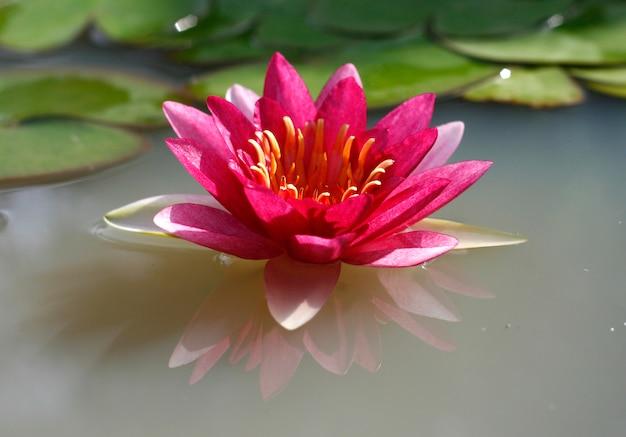 Een mooie roze waterlily of lotusbloembloem in vijver
