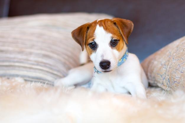 Een mooie witte jack russell terrier-puppy in een blauwe kraag ligt op de bank tussen de kussens en kijkt naar de camera. close-up portret van een jonge hond. het concept van liefde voor huisdieren, hondendag.