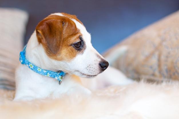 Een mooie witte jack russell terrier-puppy in een blauwe kraag ligt op de bank tussen de kussens, wegkijkend. profielportret van een jonge hond. concept van liefde huisdieren, hondendag.