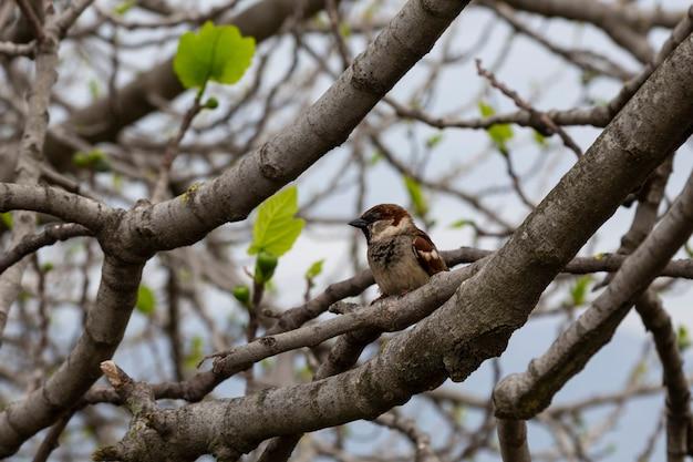 Een mus op een boomtak in het vroege voorjaar. een kleine grijze vogel in de natuur