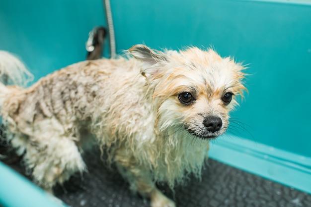 Een natte pommeren staat in de badkamer. klein, schoon huisdier.