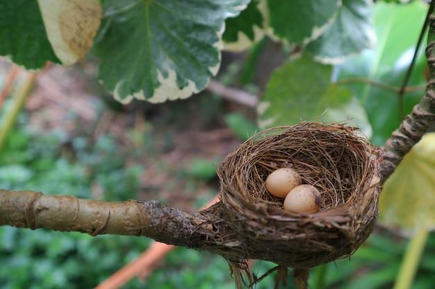 Een nest gevuld met twee ekster-robin-vogeleieren in de tak van een boom met paaseieren voor pasen