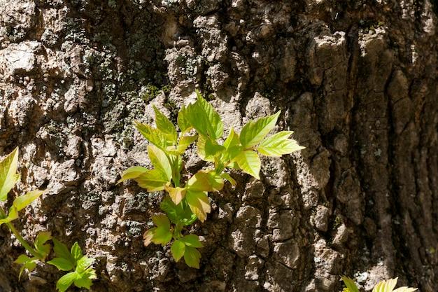 Een nieuwe spruit die in het voorjaar door een boomstam met groene bladeren ontspruit