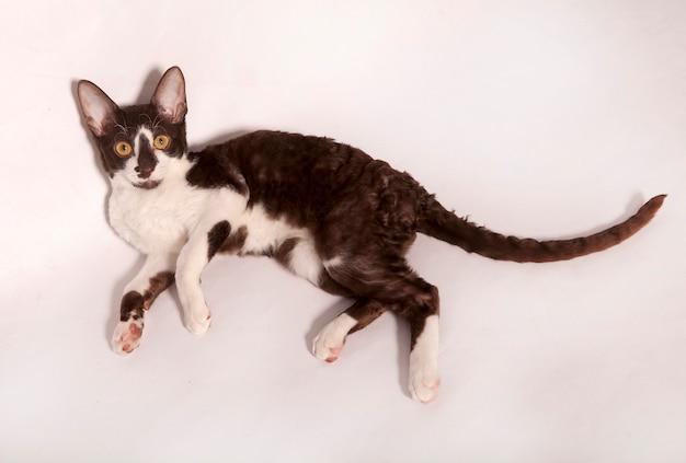 Een nieuwsgierig jong wit en bruin katje dat op witte achtergrond ligt