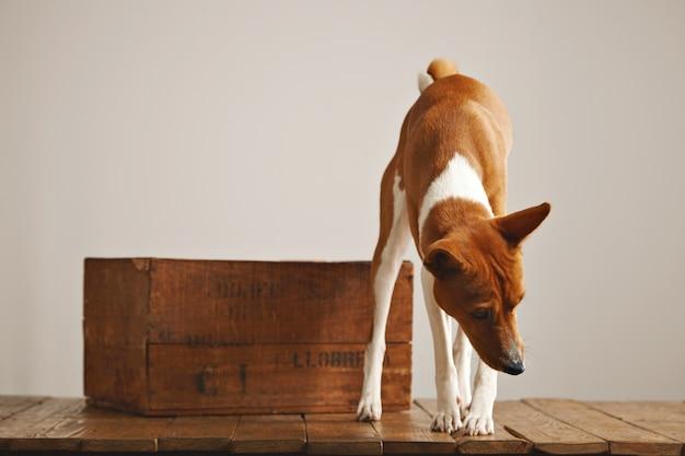 Een nieuwsgierige bruine en witte hond kijkt rond en snuift lucht in een studio met witte muren, rustieke houten vloer en mooie vintage doos