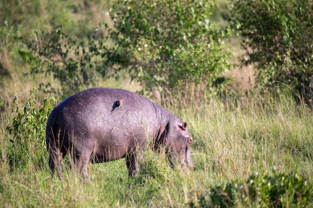Een nijlpaard graast in een weiland