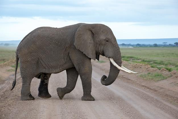 Een olifant in de savanne van een nationaal park in kenia