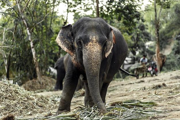 Een olifant loopt in de jungle.