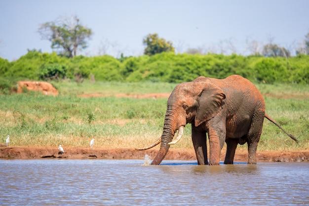Een olifant op de waterput in de savanne van kenia