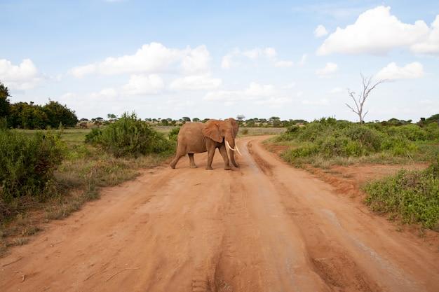 Een olifant steekt de weg over in de savanne