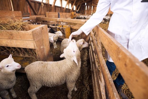 Een onherkenbare veearts die het lammetje van een babyschaap aanraakt