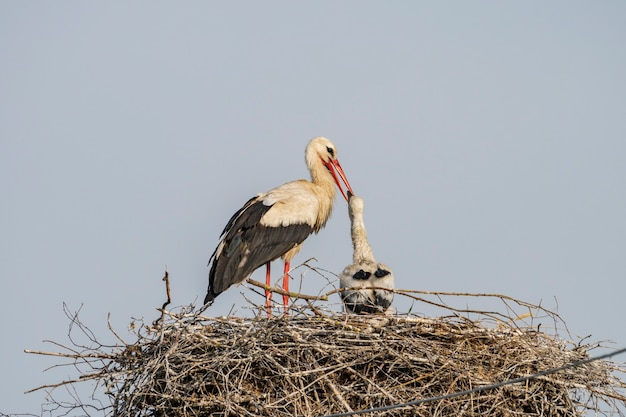 Een ooievaar in het nest voedt zijn baby