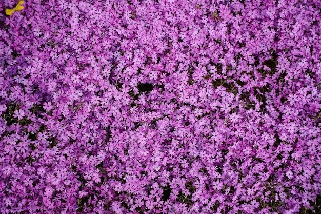 Een open plek van kleine paarse bloemen in de tuin in de lente