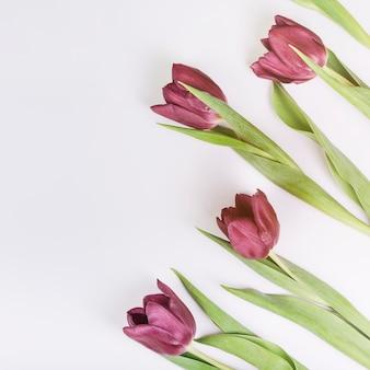 Een opgeheven mening van tulpen op witte achtergrond