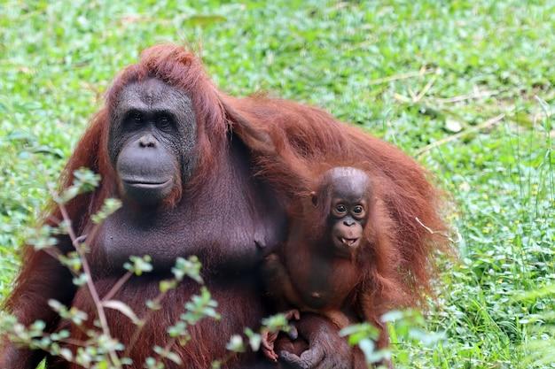 Een orang-oetan die haar baby-orang-oetan vasthoudt