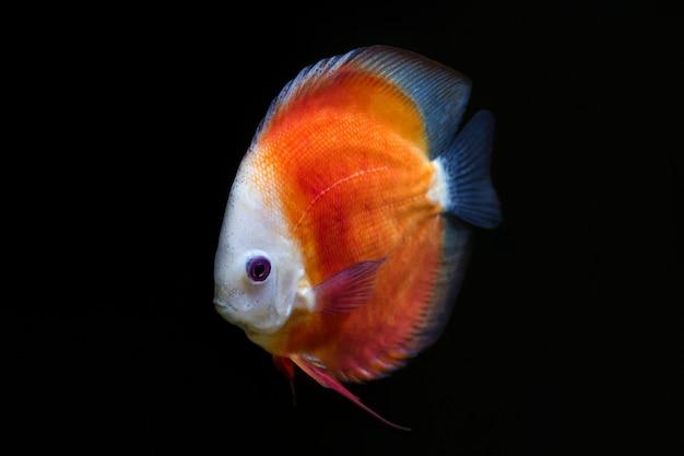 Een oranje discus vis (symphysodon aequifasciatus) op een zwarte achtergrond.
