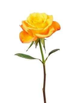Een oranje roos geïsoleerd op wit oppervlak