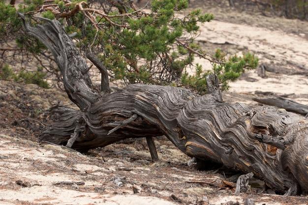 Een oude droge boom ligt op het zand. mooie textuur. naalden op het zand, groene naalden.