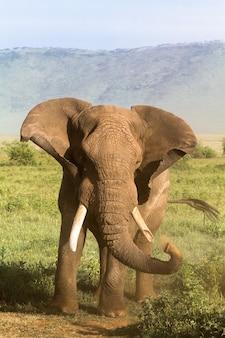 Een oude olifant met een gebroken slagtand. ngorongoro, tanzania