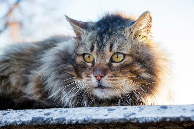 Een oude pluizige kat zit in de straat tegen de zon