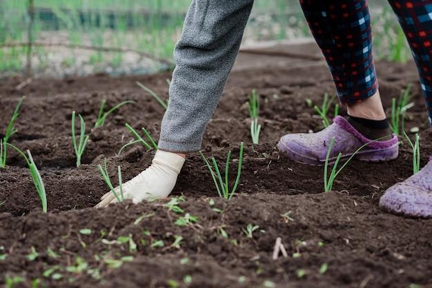 Een oudere vrouw plant jonge uienzaailingen in haar tuin in het dorp