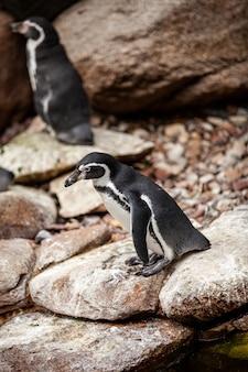 Een paar afrikaanse pinguïns op de rotsen.