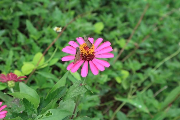 Een paar bruine vlinders die nectar op een trillende roze bloeiende wilde bloem van zinnia verzamelen