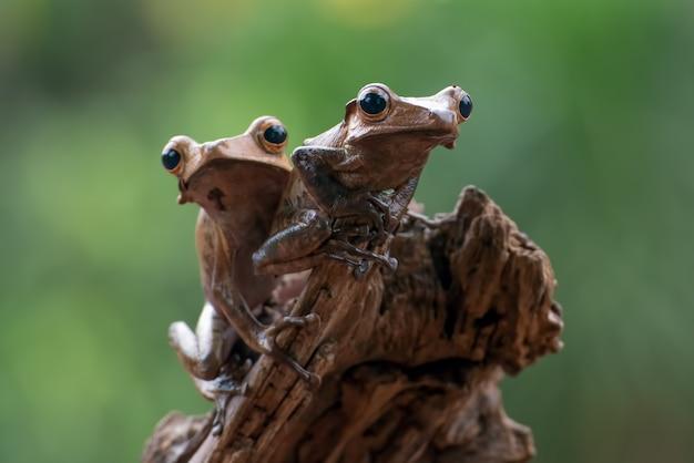 Een paar eared boomkikkers op een boomstronk