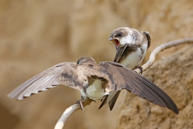 Een paar europese oeverzwaluw dichtbij nest.