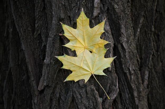 Een paar gele esdoornbladeren geplakt op een boomschors