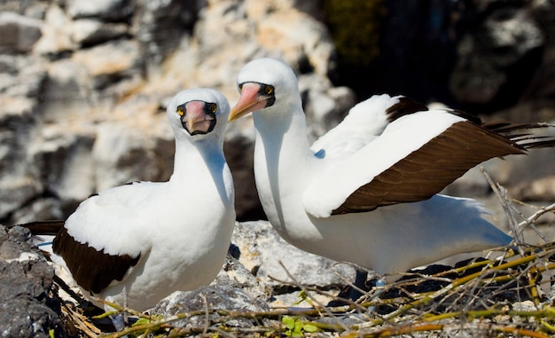 Een paar gemaskerde witte booby-vogels zitten op de rotsen