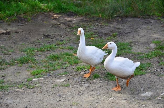 Een paar grappige witte ganzen lopen langs de vuile met gras begroeide tuin
