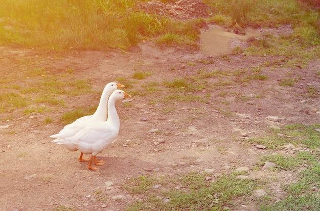 Een paar grappige witte ganzen lopen langs vuile grassy