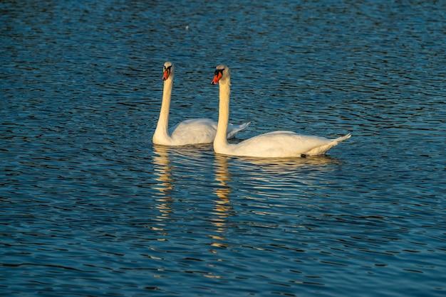 Een paar minnaars zwanenfamilie, witte vogels zwemmen in de rivier