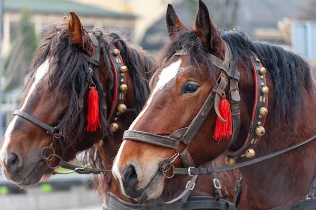 Een paar paarden in een harnas met bellen.
