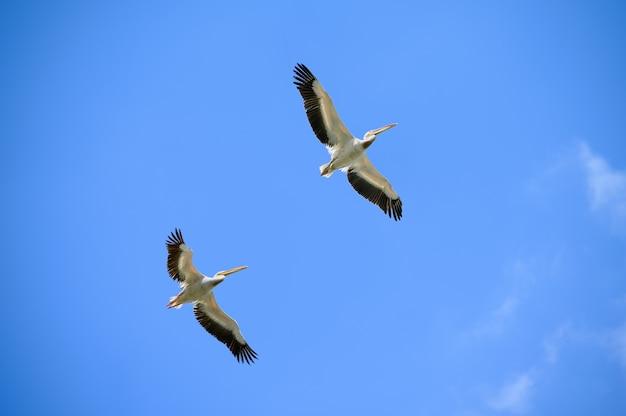 Een paar pelikanen vliegen recht boven in de blauwe lucht