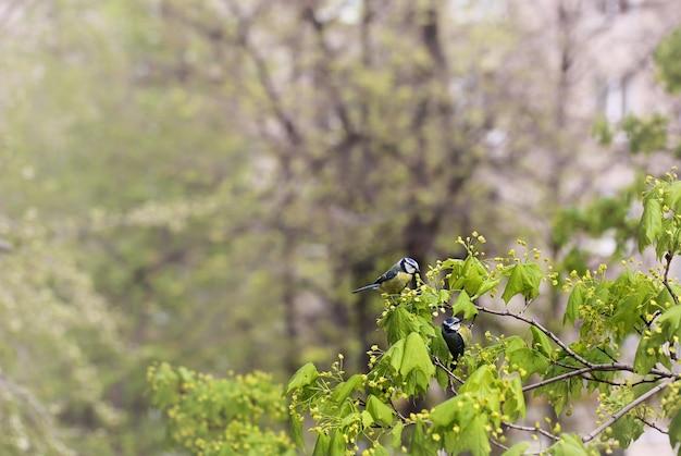 Een paar tieten op een tak van een bloeiende boom. lente achtergrond. vogels van de mees.