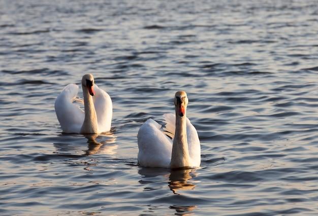 Een paar zwanen die bij zonsopgang zwemmen, twee zwanen in de lente in de gouden stralen tijdens de zonsopgang of zonsondergang, lente op het meer met de swan-familie