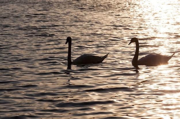 Een paar zwanen zwemmen bij de zonsopgang, twee zwanen in de lente in de gouden stralen